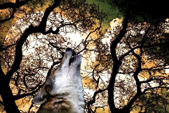 Una taglia per uccidere i lupi: Wwf pensa a denuncia contro allevatore senese