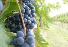 93° Edizione Festa dell'Uva