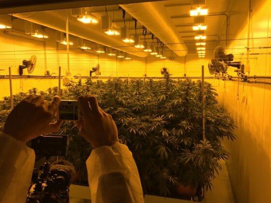 Cannabis terapeutica: verso bandi per autosufficienza dell'Italia